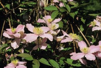 Clematis vines produce various types of flowers in numerous colors, depending on the variety.