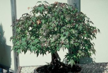 A dwarf Japanese maple may take 10 years to reach 3 feet.