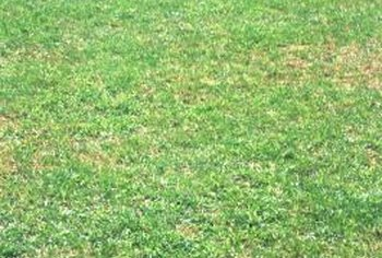 Correcting soil deficiencies and starting over is your best bet when correcting a spotty lawn.
