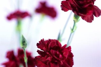 Carnations grow one year as annuals or several as perennials.