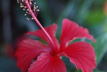 Hibiscus flowers are related to the rose of Sharon.