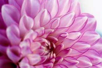 Dahlias come in a wide range of colors and forms.
