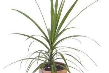 Healthy, lush dracaenas are less susceptible to pests.