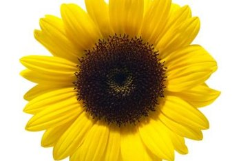 Made from pressed sunflower seeds, sunflower oil can contain varying levels of different fatty acids.