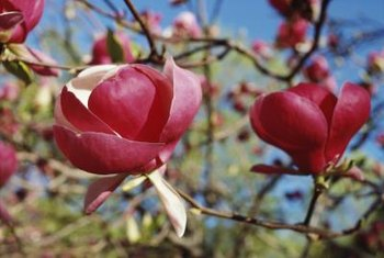 More than 200 species of magnolia exist.