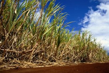 Sugarcane grows well in sunny locations featuring well-draining, nutrient-rich soil.