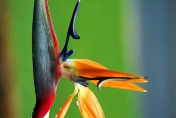 The colorful flowers emerging from a long stalk are Bird of Paradise's dominant characteristic.