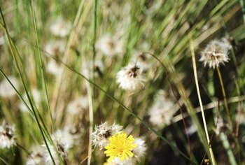 Dandelions are one of the most common weeds found in lawns.