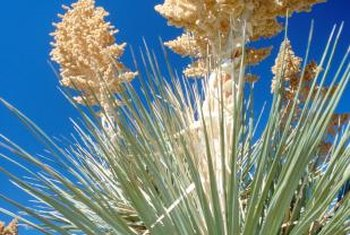 Yucca plants produce large yellow plumelike blooms each year.