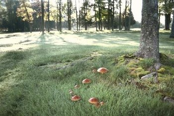 Fairy rings often spread from the base of dead or dying trees.