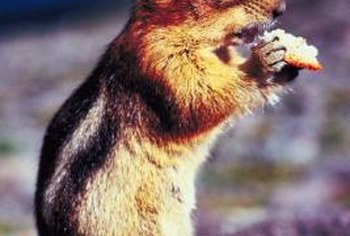 Many chipmunk species are found in or near coniferous forests.