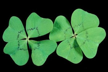 Oxalis plants have instantly recognizable leaves.
