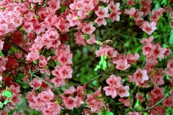 Azaleas bloom in pink, white, lavender, red and salmon colors.