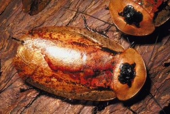 Household roaches can spread illness and disease.