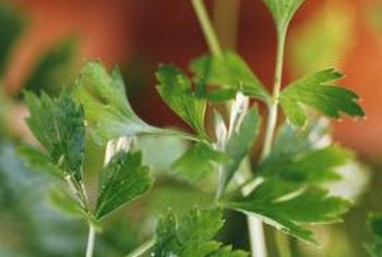 There are two varieties of parsley, including flat leafed and Italian parsley.