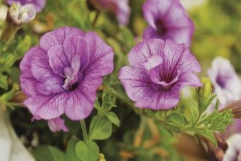 Sun-loving, double petunias withstand heat.