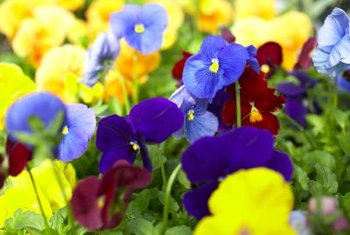 Pansies range in color from white and yellow to blue, purple and black.