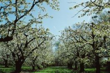 Pear trees bloom with luxuriant white flowers.