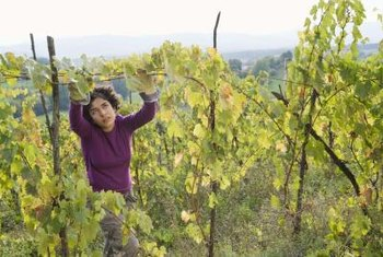 Regular inspection of grapevines is necessary to catch problems early.