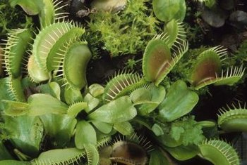 What Kind of Structure Does a Venus Flytrap Have? | Home ... Venus Fly Trap Diagram on