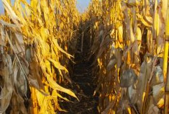 Cornstalks must be shredded or chopped before composting.