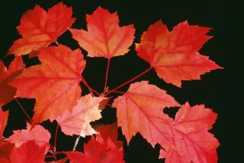 "Red maples, including ""October Glory,"" dazzle with brilliant fall color."