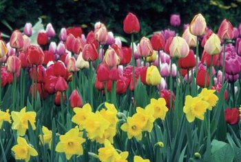 Fall-planted bulbs provide eye-catching spring color.