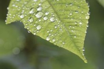 Anthracnose spores travel in water droplets like these that remain on leaves after rainfall.