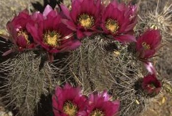 Use hedgehog cacti in a rock garden if applicable.