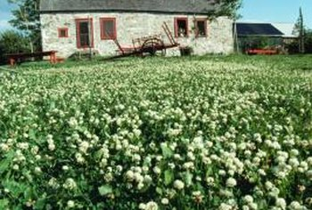 White clover (Trifolium repens) is a common lawn and garden weed.