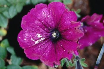 Petunias are part of the nightshade family.