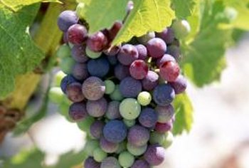 Periodic lime sulfur sprays help produce healthy grapes.
