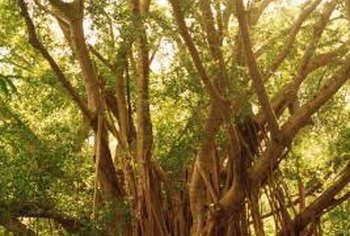 The banyan tree has large, oval leaves with prominent venation.