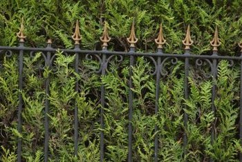 how to landscape with a hedge fence home guides sf gate