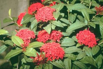 Dwarf ixora produces orange, red, pink or yellow blooms.