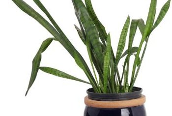 common snake plant problems home guides sf gate. Black Bedroom Furniture Sets. Home Design Ideas