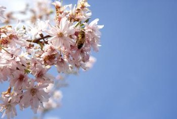 Weeping cherries attract both beneficial and pest insects.
