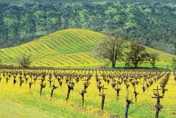 Grape vines are pruned heavily when they are dormant to yield optimal crops of grapes.