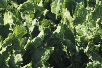 Turnip greens are rich in protein, calcium and potassium.