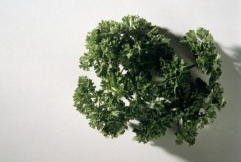 Curly parsley leaves make a colorful garnish and a flavorful culinary ingredient.