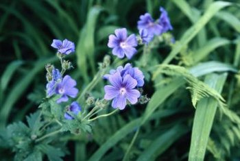 Many hardy geranium varieties make effective ground covers.
