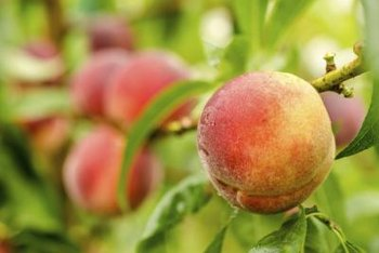 Some peach tree borers will feast on your peaches if you don't treat the tree.