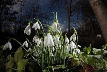 Snowdrops are some of the first bulbs to bloom in spring.