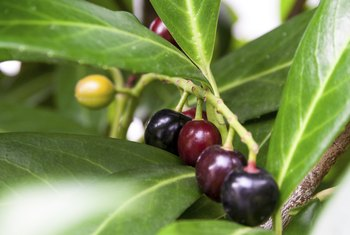 The English laurel has dark purple berries.
