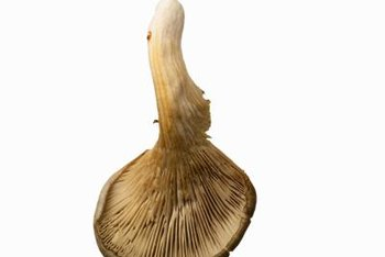 Oyster mushrooms are the third-most cultivated mushroom in the world.