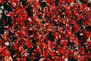 Burning bushes turn red in fall.