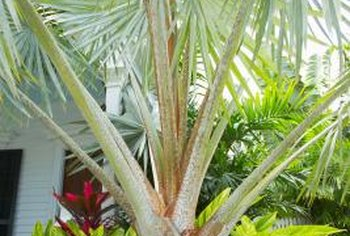 Evergreen Trees For Small Gardens. Some Palm Trees Produce Large Leaves  While Staying Short.