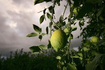 Use household items to protect lemon trees from frost damage.