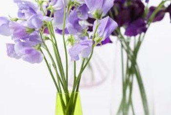 Sweet peas are good specimens for cut flower arrangements.