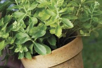 The white residue on a plant's pot hints at salt or mineral excesses.